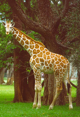 Animales rumiantes la jirafa ciencias naturales online for Taxonomia de la jirafa