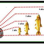 Edad y crecimiento de los peces -1