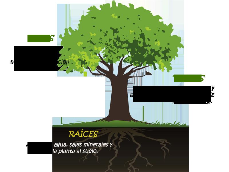 Partes de las plantas ciencias naturales online for Arboles con sus nombres y caracteristicas